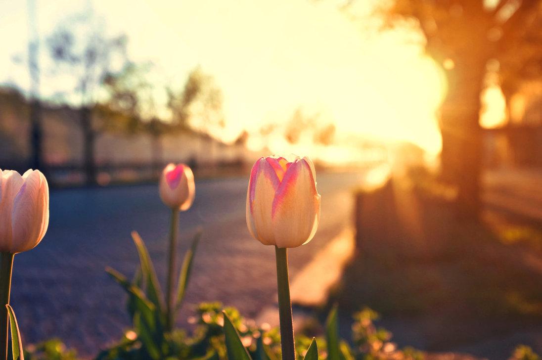 tulips_in_the_morning_light_by_jackietran-d4xt63r